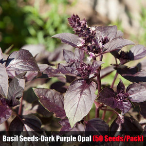 9 Kinds of Basil Seeds (50 Seeds/Pack) Kitchen Seasoning Herbs Plant Seeds for Garden