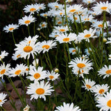 200Pcs small daisy flower seed plant seed flower seed perennial flower seed easy to grow