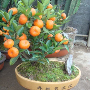 30/50 pcs Mini potted edible fruit seed potted landscape orange seed Chinese climbing orange tree seed climbing plant