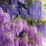 Purple Wisteria Flower Seed Perennial Climbing Plants Bonsai Home Garden