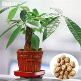 1 Piece Mini Pachira Macrocarpa Seeds Make Money Tree Bonsai Pot Indoor Plant