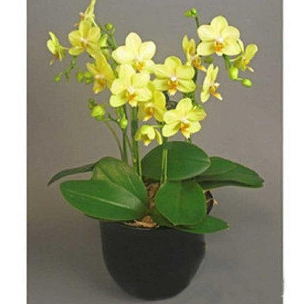 20PCS/bag Butterfly Orchid Bonsai Balcony Flower  Moth Orchid Seeds Multicolor DIY Home Garden Decoration Easy To Grow