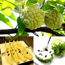 Load image into Gallery viewer, 30Pcs Soursop Seeds Sweetsop Fruit Custard Apple Buddha's Head Fruits Cherimoya Sugar Apple Annona Tree