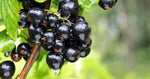 Blackcurrants are the new superfood