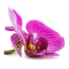 A purple orchid with yellow spots
