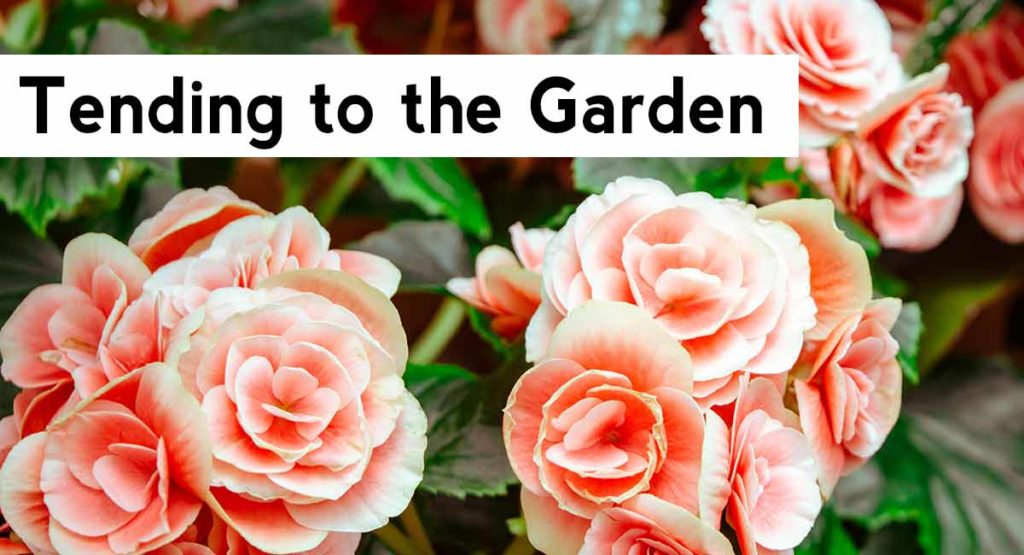 Niche Fragrance for summer | Tending to the rose garden