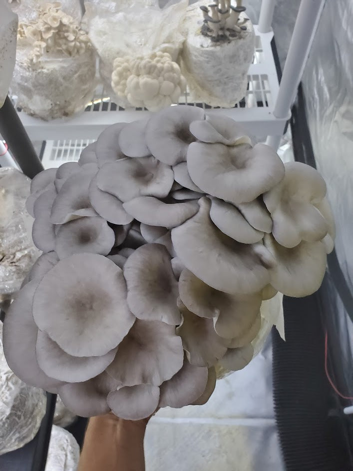 Blue Oyster Mini Mushroom Farm Kit