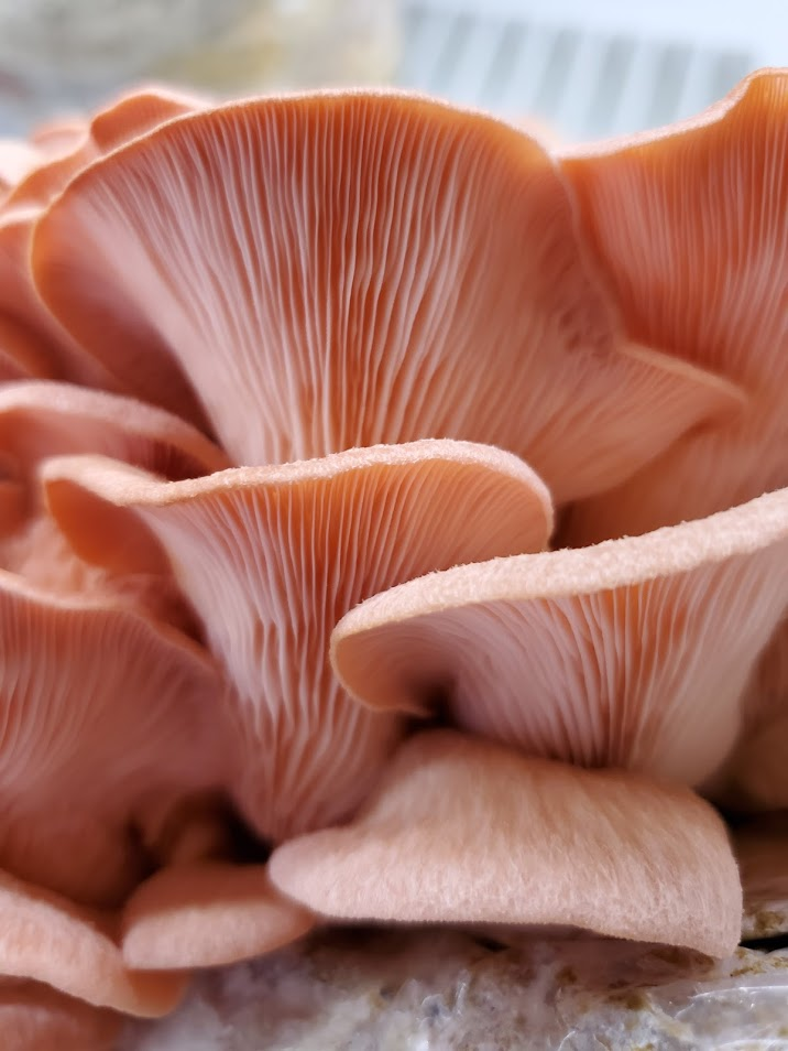 Pink Oyster Mini Mushroom Farm Kit
