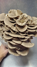Load image into Gallery viewer, Italian Oyster Mini Mushroom Farm Kit