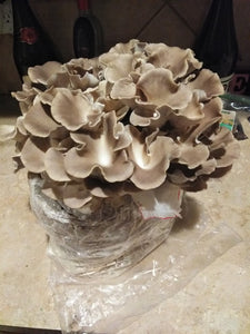 Italian Oyster Mini Mushroom Farm Kit