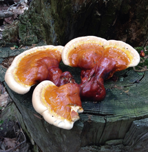 Load image into Gallery viewer, Red Reishi (Ganoderma lucidum) Live Culture