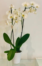 Load image into Gallery viewer, Orchid in Vase - Ambient Flores