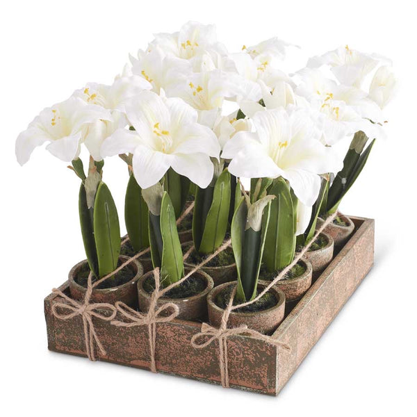 "Potted White Amaryllis,  7 1/2""H Sold Individually"