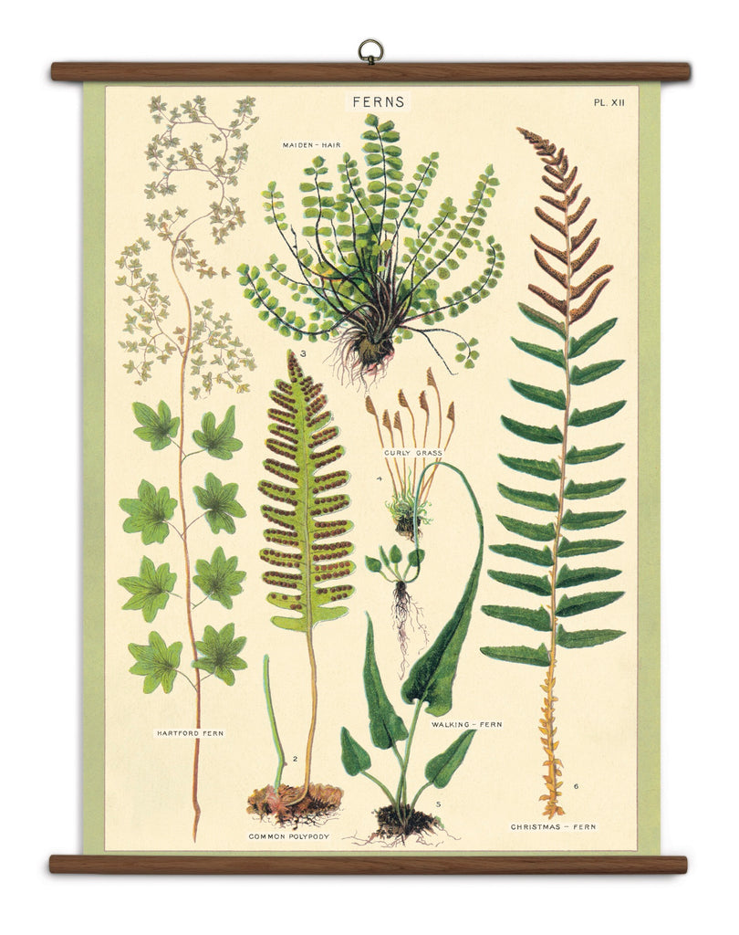 Vintage School Chart- Ferns