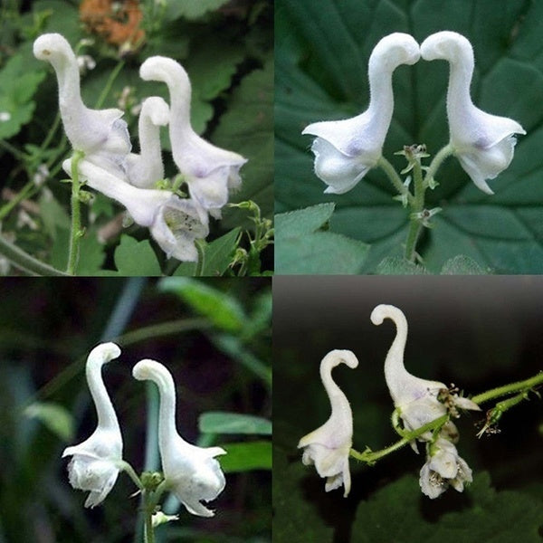 100pcs rare swan flowers seeds characteristics flower seeds white flowers decor UltimateShop