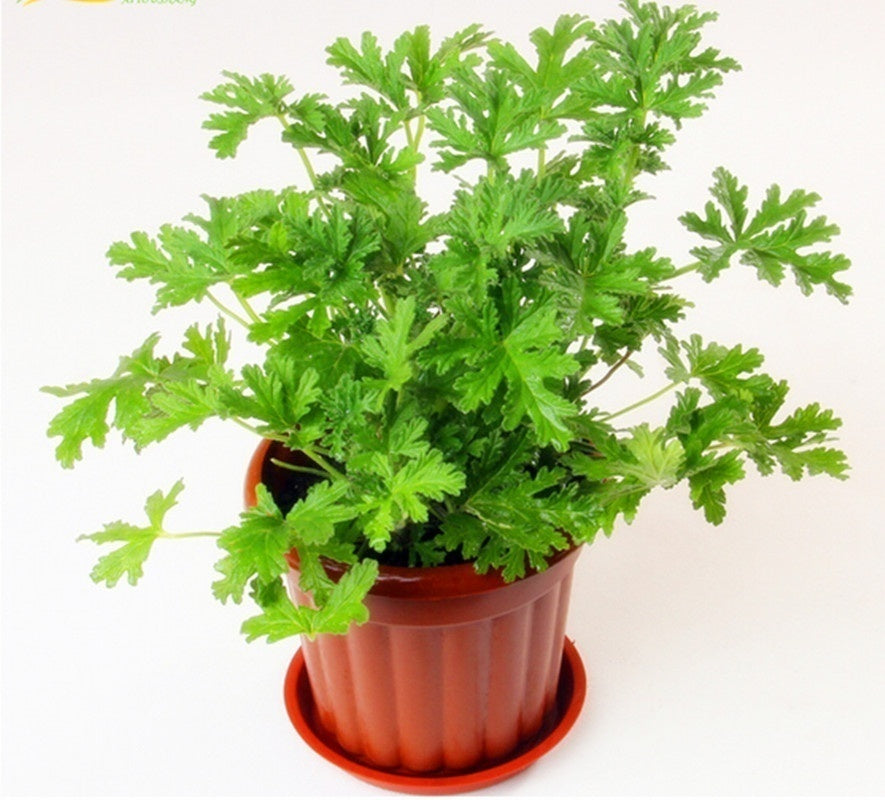 100Pcs/bag Riddex Plant Bonsai Seeds Sweetgrass  Mosquito Repelling Mozzie Imbecile Grass Seeds Garden & Home Planting
