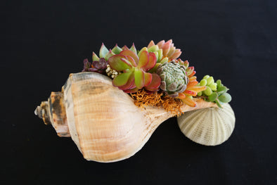 Still Life SeaGarden - Channeled Whelk & Urchin