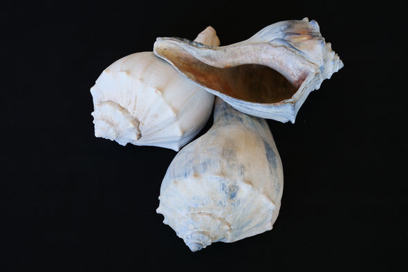 Signature Whelk SeaGarden - Light