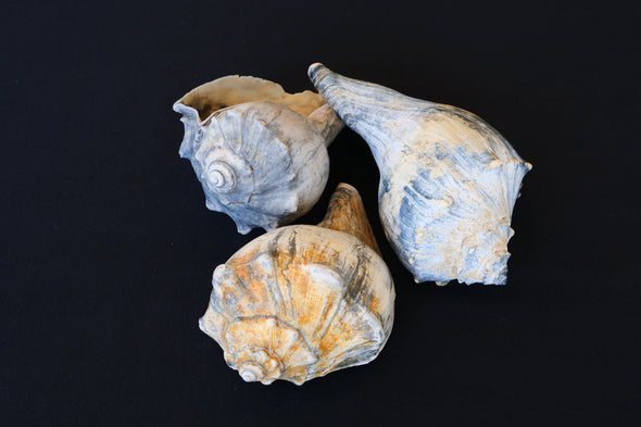 Signature Whelk SeaGarden - Medium