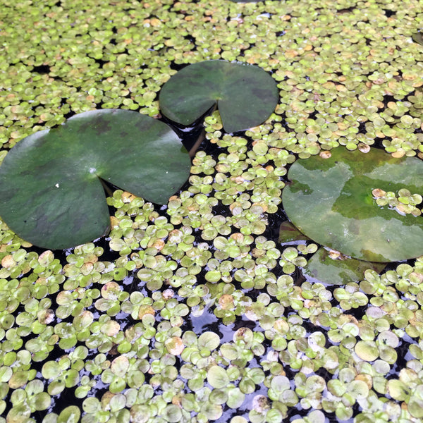 Lily pads and duckweed in a roadside pond garden. Taiwanese are avid gardeners, no matter how limited the space. (Christine Lin/Yun Boutique)