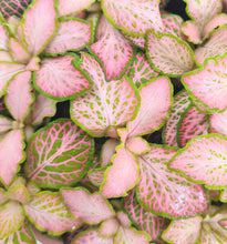 Afbeelding in Gallery-weergave laden, Fittonia pink special