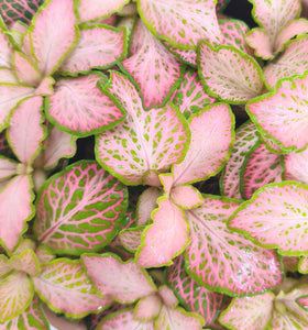 Fittonia pink special