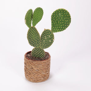Opuntia mixed C