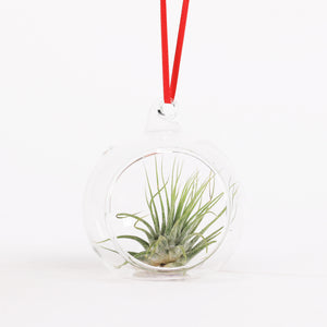 Tillandsia Airplant in kerstbal