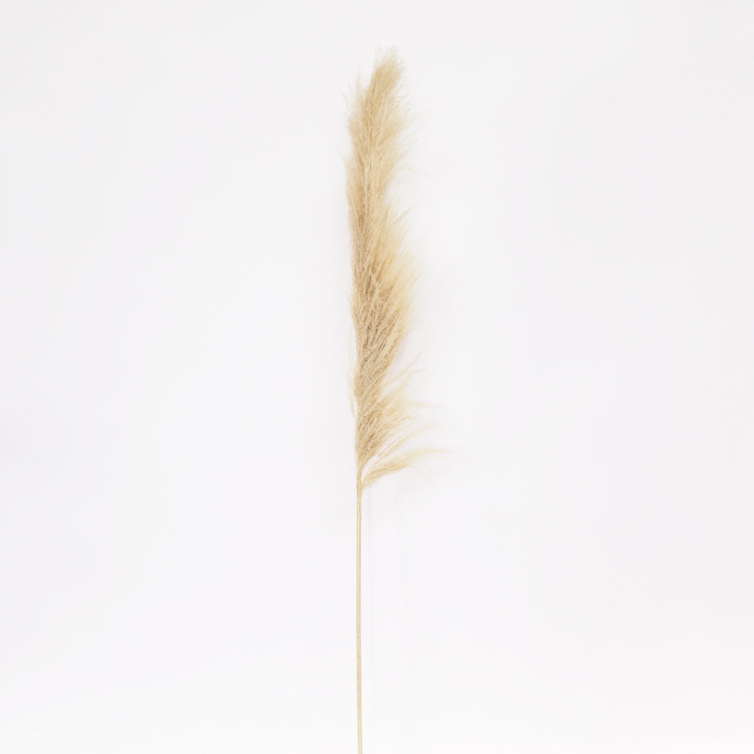 Cortaderia XL naturel