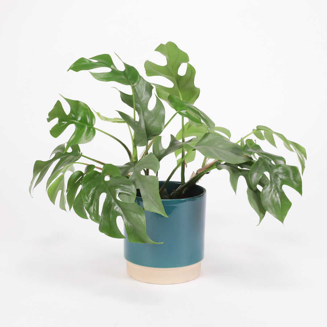 Monstera Minima XL