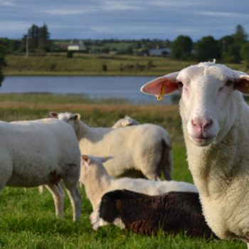 Answers to the most common questions we are asked about sheep's milk products