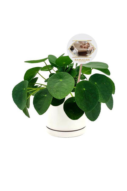 Chinese Money Plant  in white ceramic  pot with Ramadan Wishes Quote.