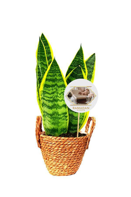 Snake  Plant in a coir rope pot with Handle and a Ramadan Greeting quote .