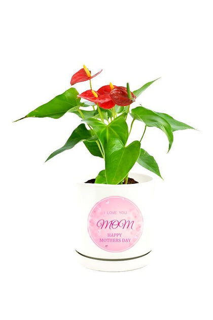 Elegant Anthurium Red Plant  in a customized white pot as Mothers Day Gift.