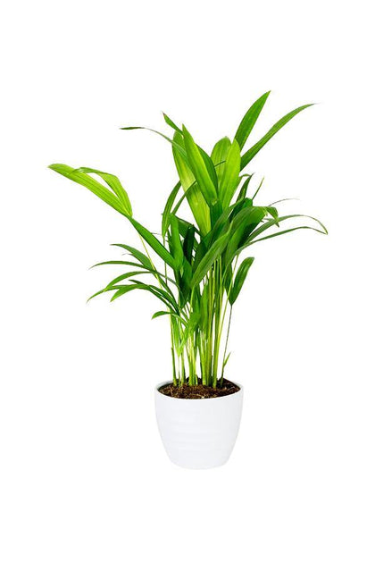Areca Palm Indoor Small -