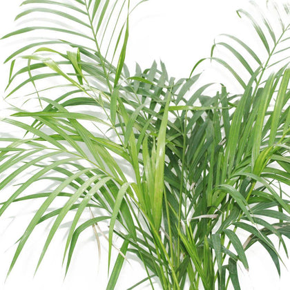 Areca Palm Small