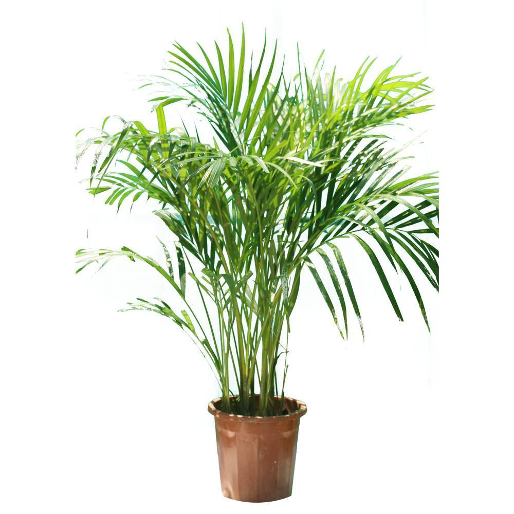 Areca Plam Outdoor-Dypsis Lutescens