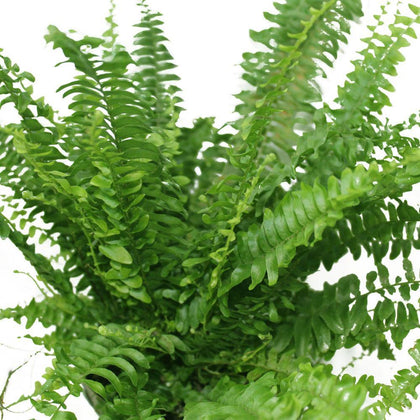 Boston Fern - Nephrolepis exaltata-Fern Plant
