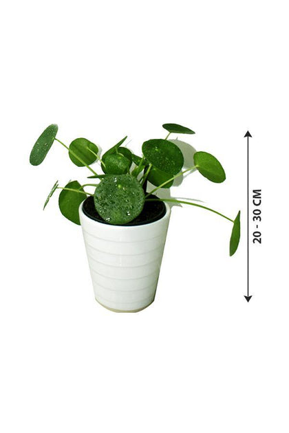 Chinese Money Plant - Pilea Peperomioides - Low Maintenance Plants
