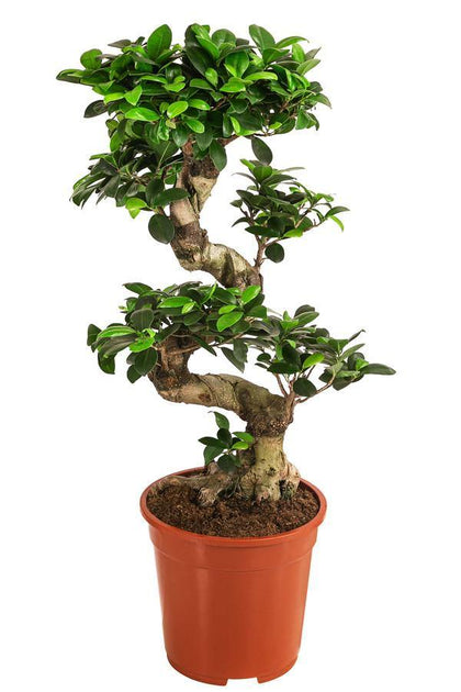 Ficus Bonsai- XL