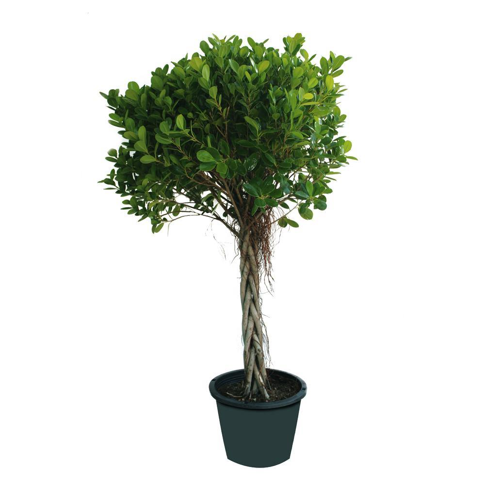 Ficus Panda Twisted