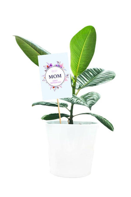 Ficus Robusta Plant potted in White Pot With Mother Day Greeting Quote  on Skewer.