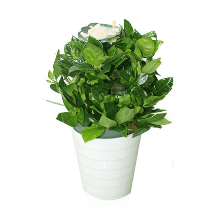 Gardenia - Cape Jasmine Indoor Flowering Plants