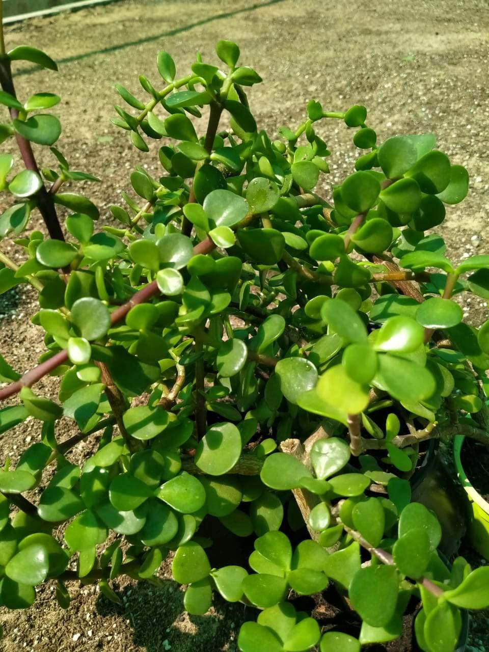 Jade Plant Outdoor-Crassula Ovata