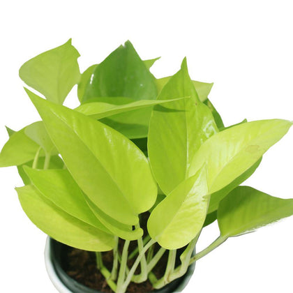 Neon Pothos-Air Purifying Indoor Plant