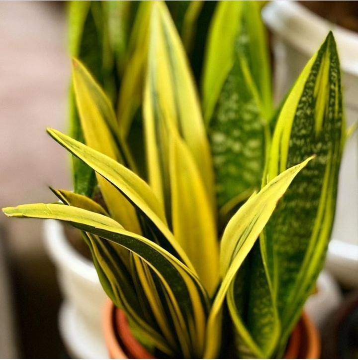 Snake Plant - Golden Flame