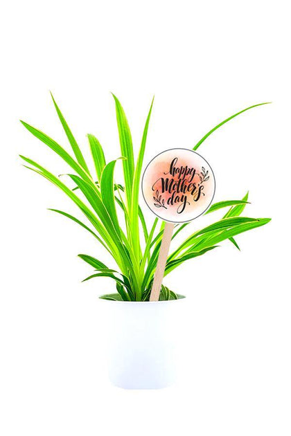 Elegant Spider Plant  in a white pot with Mothers Day Customized  Quote.