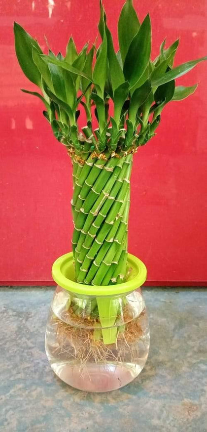 Spiral Lucky Bamboo- Bamboo Plant