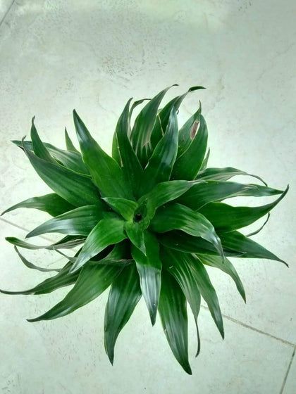 Dracaena Compacta Single Head