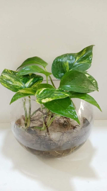 Money Plant In Glass Bowl